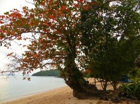 Paradise KohYao: Beautiful tree near beach bar
