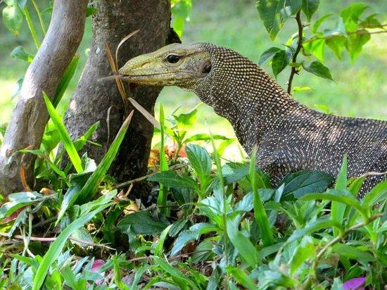 Paradise @ Koh Yao: Mr Monitor Lizard
