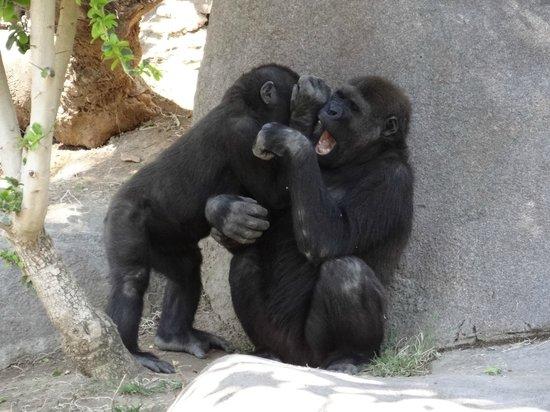 San Diego Zoo Safari Park : Juvenile gorillas playing
