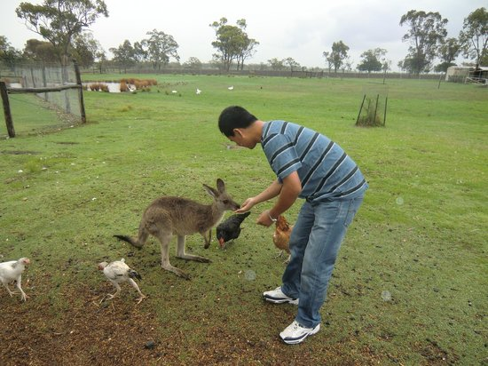 The Woolshed at Jondaryan: feeding kangaroo