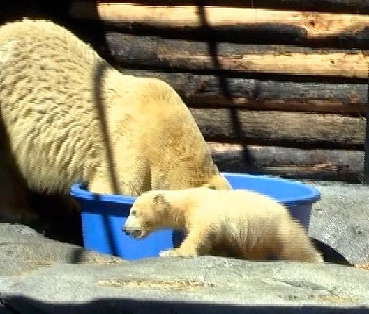 Sea World : Henry the baby Polar Bear