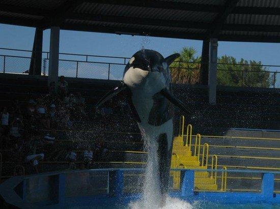 Miami Seaquarium: La orca