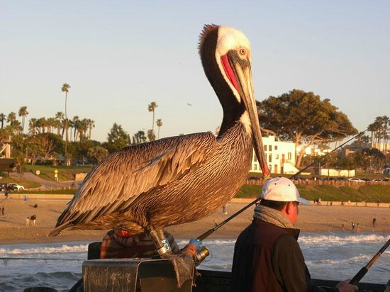 Redondo Beach Pier: Pelican on the pier