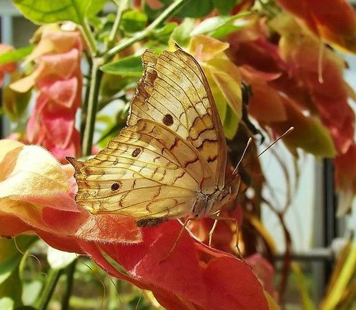 Phipps Conservatory And Botanical Gardens: Butterfly On Shrimp Plant Bract