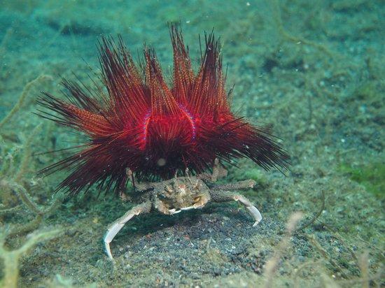 Lembeh Strait : decorator crab