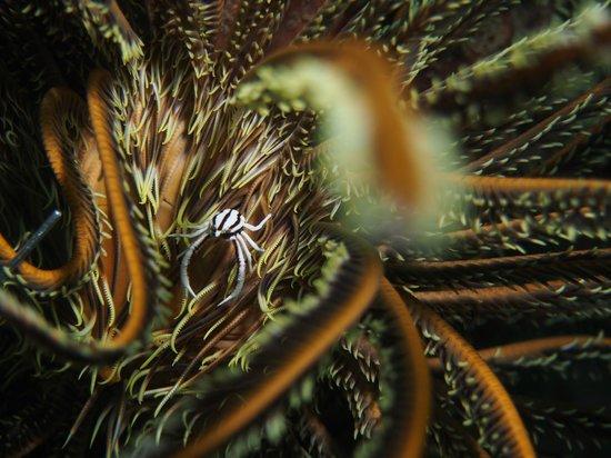 Lembeh Strait: Crab