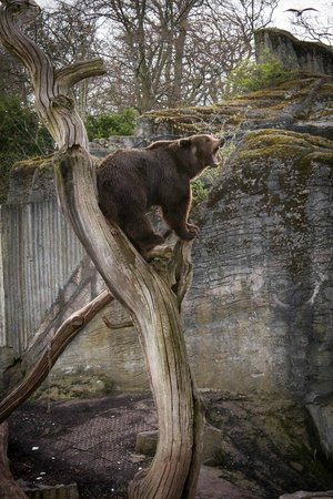 Copenhagen Zoo: Brown bear