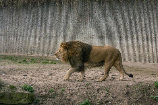 Copenhagen Zoo: Lion