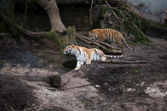 Copenhagen Zoo: Playful tigers