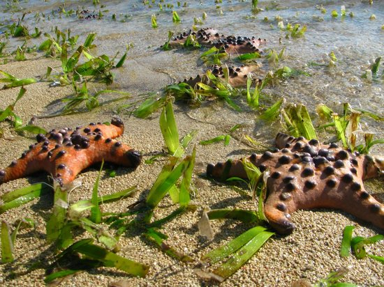 West Nusa Tenggara, Indonesien: knobby starfishes on sunken sand island