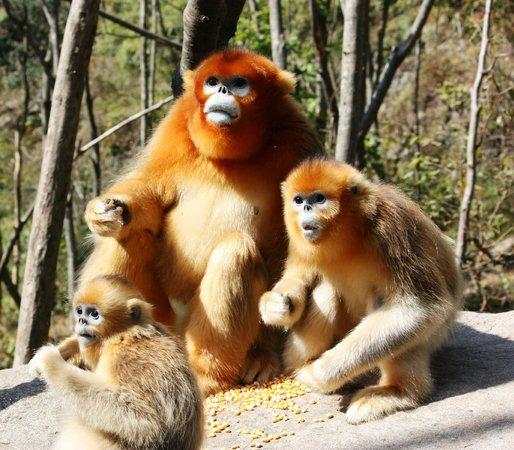 Shanxi Foping National Nature Reserve: Golden Monkeys Foping