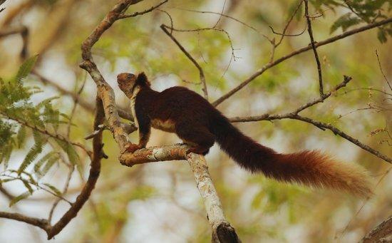 Malabar Gaint Squirrel in Bhadra National park at River Tern Lodge