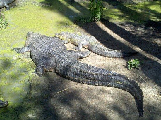 Chehaw Park: Gators
