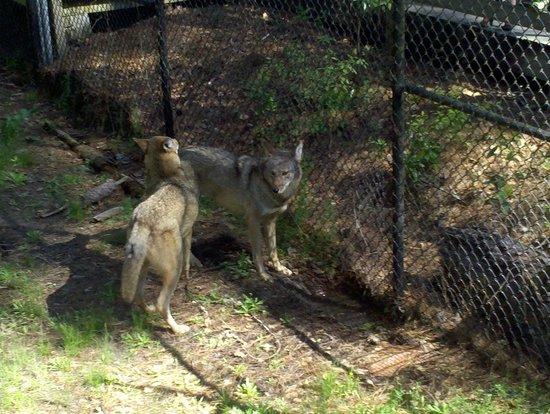 Chehaw Park: Wolves