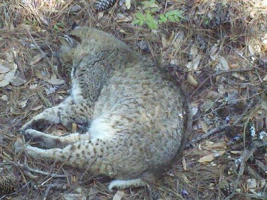 Chehaw Park : Bobcat