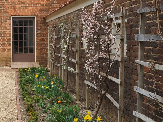 George Washington's Mount Vernon: Flowering pear trees