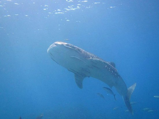 Local Dive Thailand: Richelieu Rock