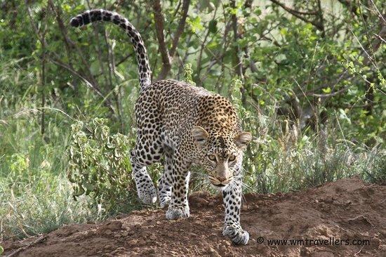 Kilaguni Serena Safari Lodge : Safari Leopard