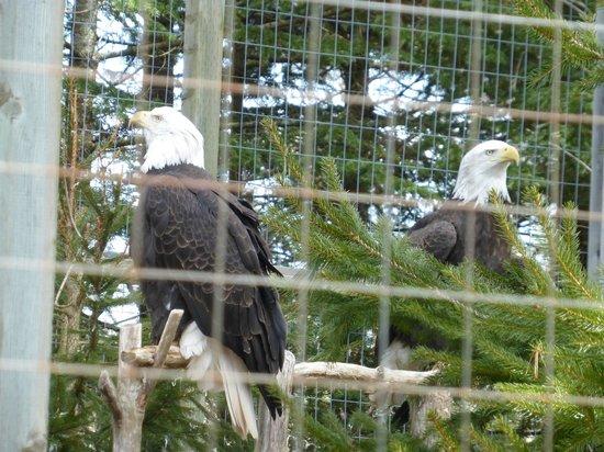 Shubenacadie Wildlife Park: Bald Eagles