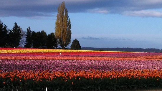 Roozengaarde Display Garden: early morning tulips