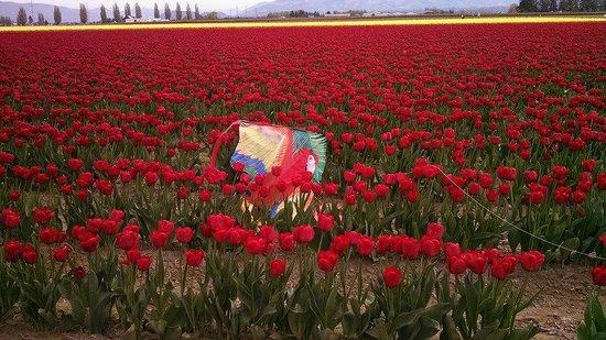 Roozengaarde Display Garden: kite down in tulips