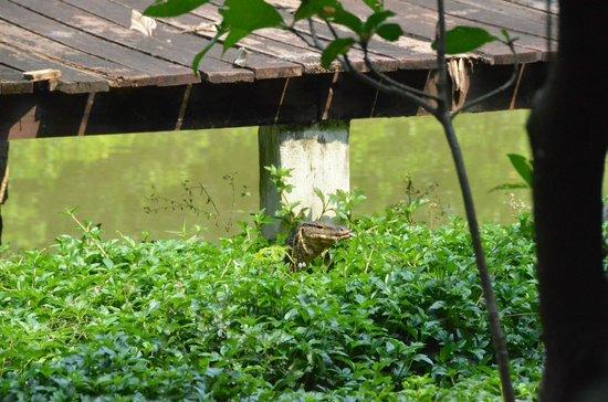 Recreational Bangkok Biking : Monitor Lizard