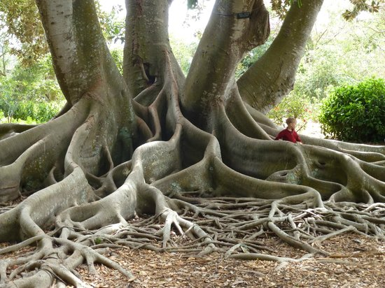 Marie Selby Botanical Gardens: Roots of a massive tree