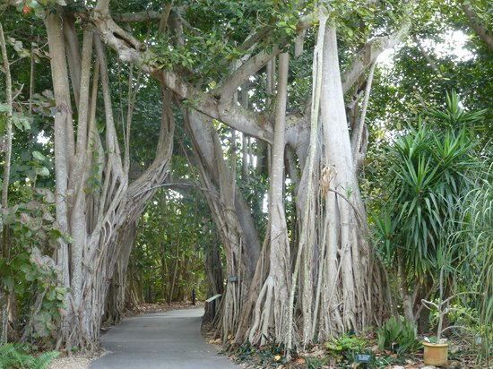 Marie Selby Botanical Gardens: Tree-lined path