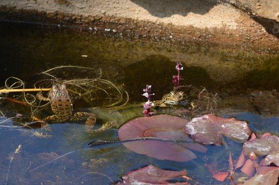 Domaine de Conillieres : les grenouilles de la mare