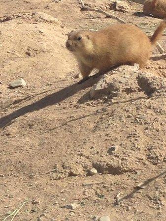 Arizona-Sonora Desert Museum : Prairie Dogs Abound!