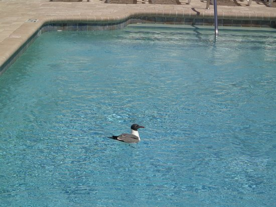 Palm Pavilion Inn: Caught this guy catching a Quick Dip in our Pool Lol