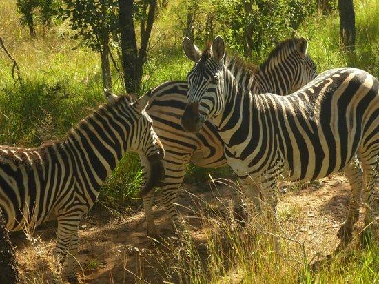 Ant's Hill & Ant's Nest: Zebra