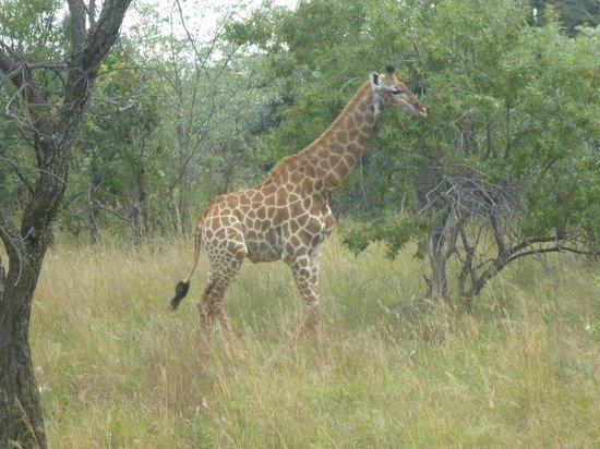 Ant's Hill & Ant's Nest : Giraffe