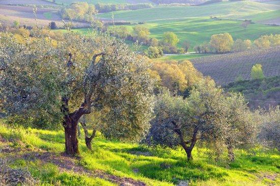 Az. Agricola Casina di Cornia: Oliviers