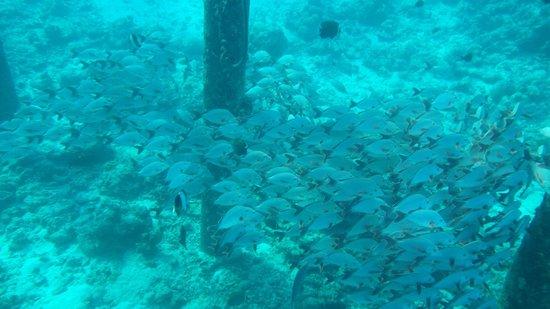 JA Manafaru : Fish life