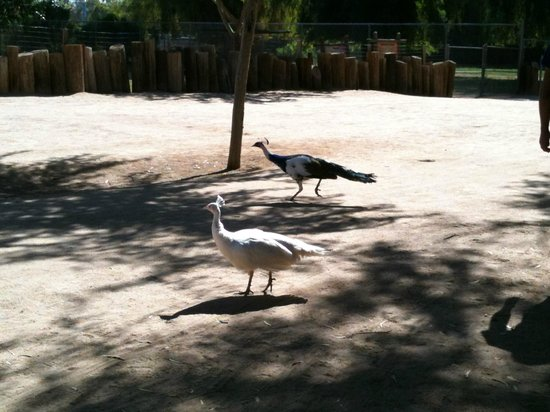 Wildlife World Zoo and Aquarium : Peacocks walking