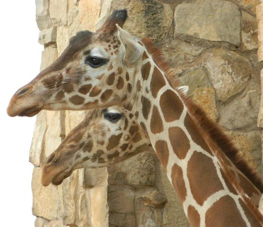 Abilene Zoo : The giraffes are always engaging with visitors. I was pleased to get both of them in the same fr