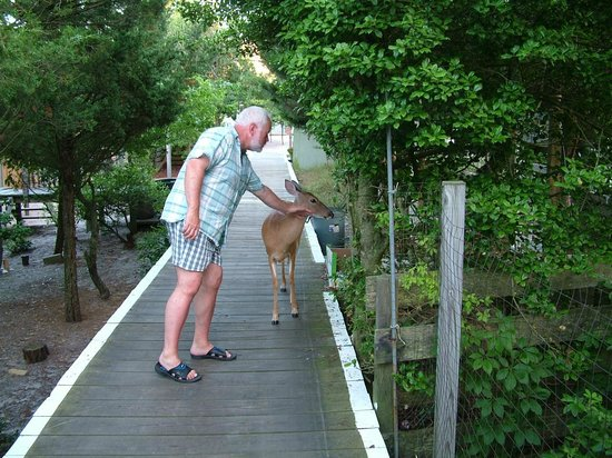 Fire Island National Seashore : the Deer are like pets
