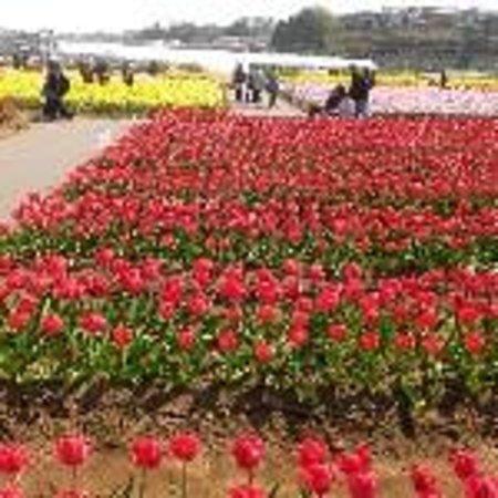 Sakura Furusato Square: 花畑
