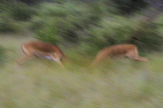 Jaci's Tree Lodge: Impala rutting
