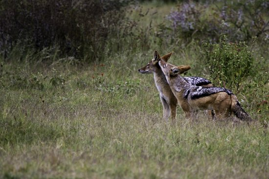 Jaci's Tree Lodge: jackals