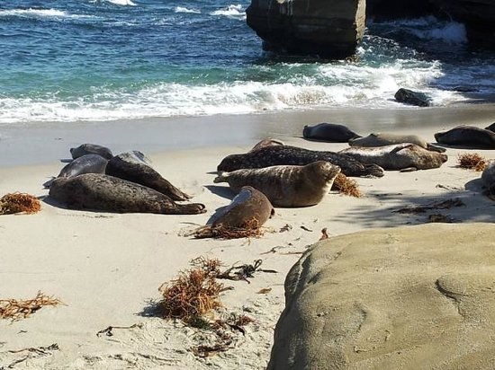 La Jolla Cove : Stinky sea lions hanging out on the beach