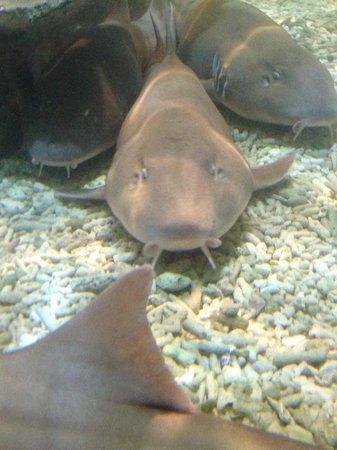 National Sea Life Centre: Bamboo sharks in shark lagoon.