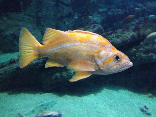 Sunfish at the monterey bay aquarium picture of monterey for California freshwater fish
