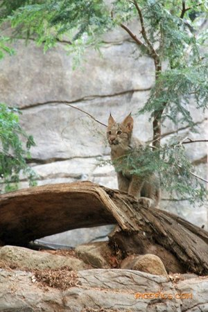 Biodôme de Montréal : Canada  Lynx  (www.riccpics.com)