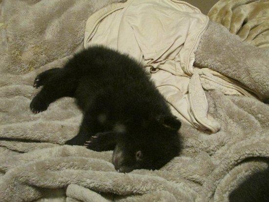 Bearizona Wildlife Park: 10 week old bear cub