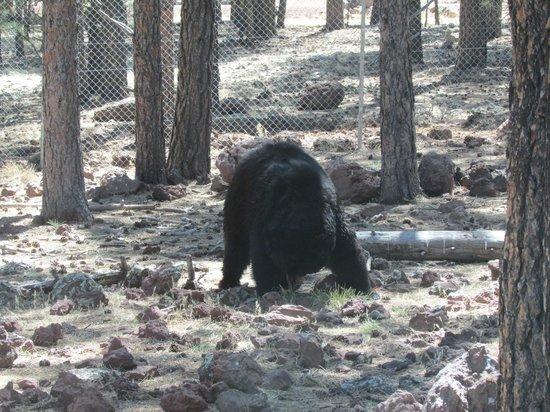 Bearizona Wildlife Park: Black Bear approaches the car