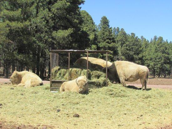 Bearizona Wildlife Park: White Buffalo