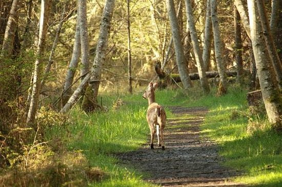Deer on path by English Camp