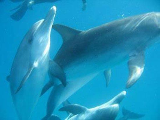 Bimini Undersea : Bimini Dolphins